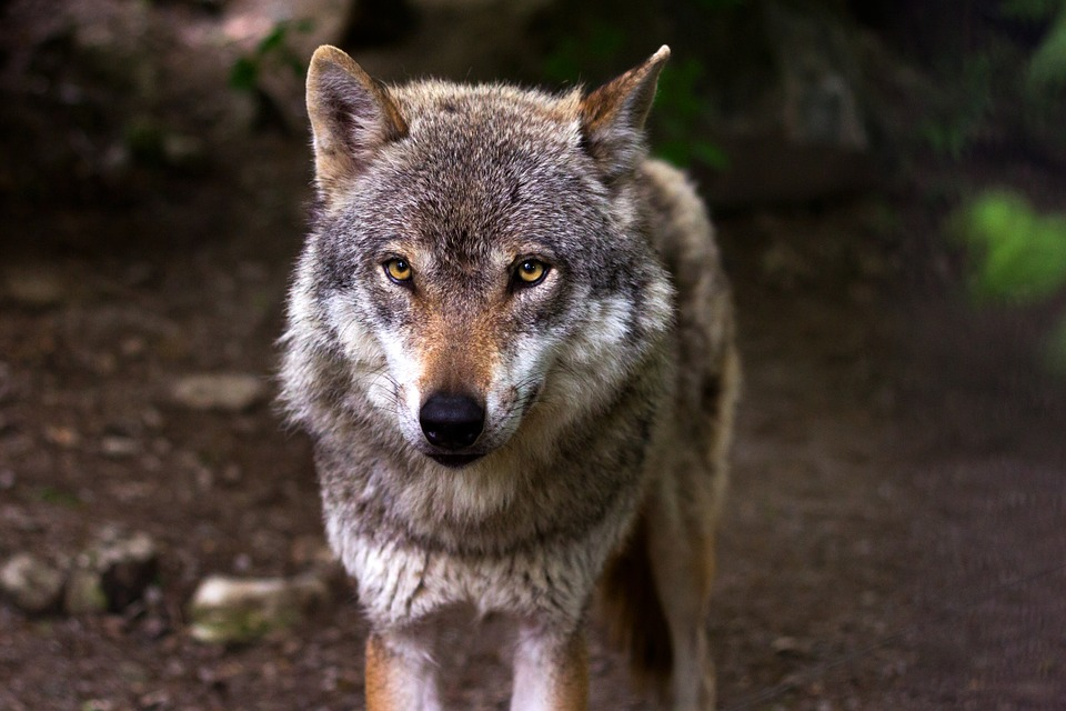 Visit the Wolves at Wolf Conservation Trust